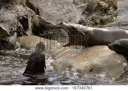 A Sea lions Latin name zalophus californianus