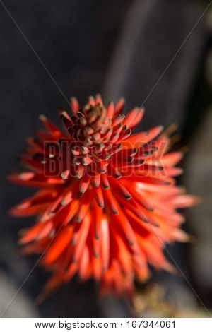 Aloe Plant With Red Flower In Vertical