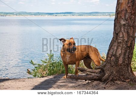 American Staffordshire Terrier walking near river in summer day