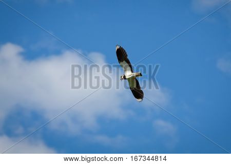 Beautiful bird the lapwing (Vanellus vanellus) in flight against blue sky with clouds in summer Sunny day