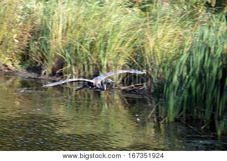 The big grey heron flying above water surface