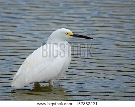 Profile view of Snowy Egret standing in water