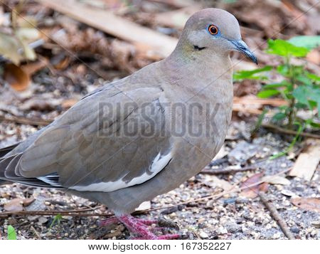 White Winged Dove standing on the ground