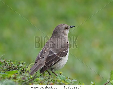 Northern Mockingbird gazing out into distance standing on a hedge