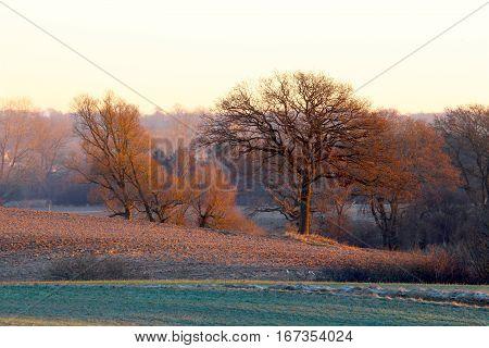 Old tree in the reddish sunrise in January