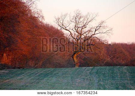Old tree in reddish dawn in January