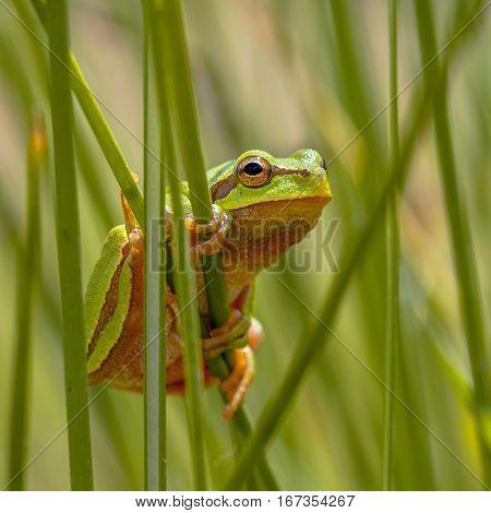Tree Frog Peeking From Behind Rush Square