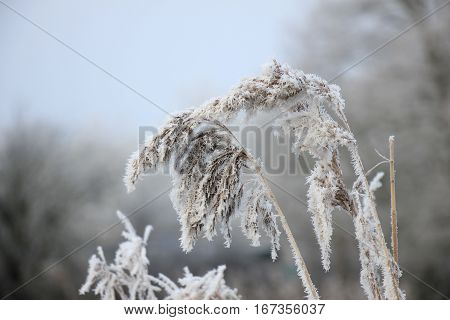 Hoarfrost on reed grass on a midwinter morning