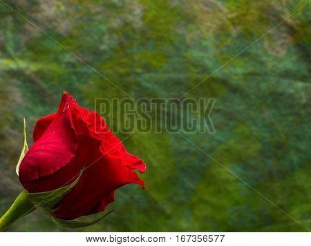 Single red rose on dark green background