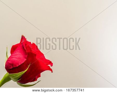 Single red rose on white background copy space