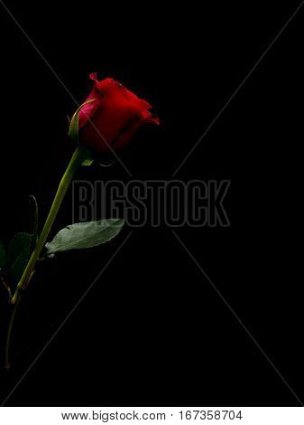Red rose on black background with green stem