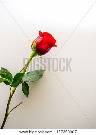 Single red rose with white copy space