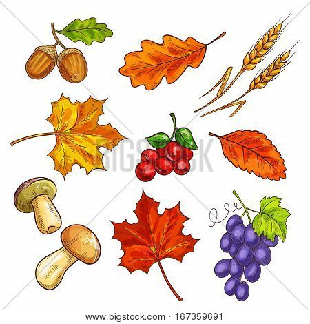 Autumn fallen leaves and mushroom, berries. Grapes and shroom, ear and acorn, elm or ulmus, chestnut and oak leaf. Garden or botany, autumnal harvest and flora, park theme