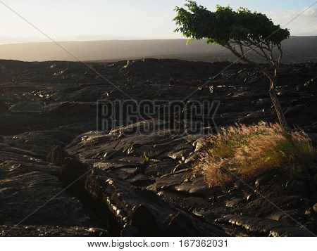 A windblown tree at sunset on the lava fields of Hawaii's Big Island.