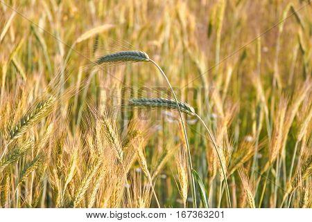 Ripe ears of rye in the field (Secale cereale)