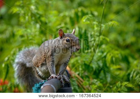 An eastern gray squirrel rests on a tree branch