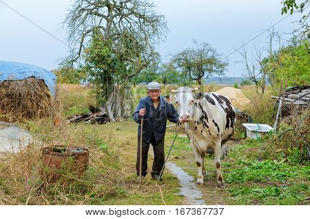 Farmer with cows on a green field Senior male cow grazes in village