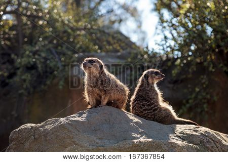 Meerkat , Suricata Suricatta, On A Large Rock