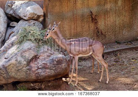 Gerenuk antelope Litocranius walleri is seen in Kenya and Somalia Africa in dry areas.