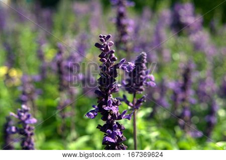 lavender purple plant flowers tall spring garden