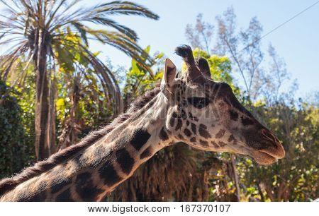 Giraffe Are Found In Africa