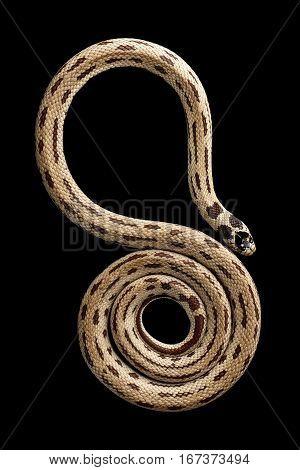 Eastern kingsnake or common king snake, Lampropeltis getula californiae, isolated black background