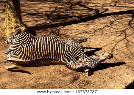 Grevy's zebra Equus grevyi relaxes in the sun after a dust bath.