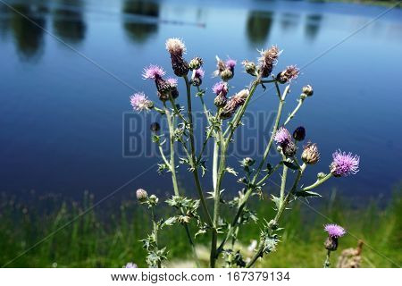 Creeping thistle flowers (Cirsium arvense), also known as the Canada thistle, bloom next to a small lake in Joliet, Illinois during June.