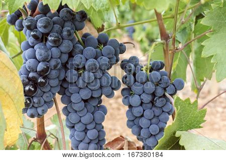 A vibrant photo of wine grapes hanging from a vine in a vineyard, just before the autumn harvest