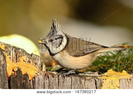 close up of european crested tit perched on wooden stump in the garden ( Lophophanes cristatus ); the birds are hungry in winter and come to feed on lard