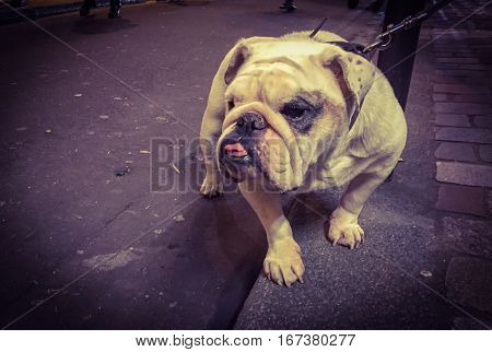 English bulldog on a lead sitting waiting patiently to resume its walk with its tongue protruding through its undershot jaw high angle view outdoors on a sidewalk