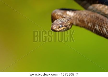 portrait of smooth snake over green out of focus background ( Coronella austriaca )
