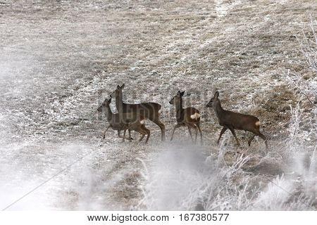 roe deer herd in winter field ( Capreolus )