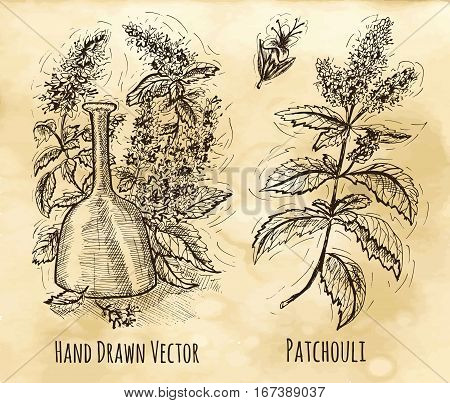 Graphic set with patchouli still life - oil, leaves and flowers. Hand drawn engraved illustration. Vintage drawing in sketch style. Aromatic perfumery plant and bottle