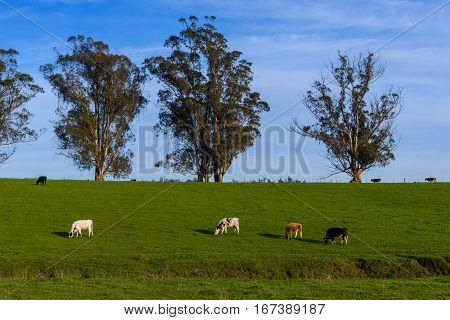Grazing cows in a green pasture with a river and trees