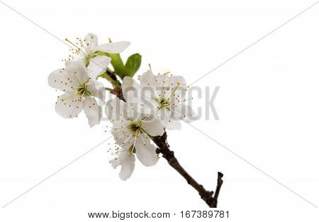 cherry blossom flowers isolated on white background