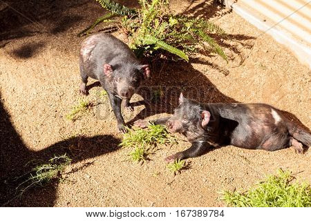 Tasmanian devil Sarcophilus harrisii brothers relax in the sun. In the wild they are found in Tasmania.