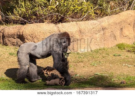 Western Lowland Gorilla is found in forests and lowland swamps in Africa