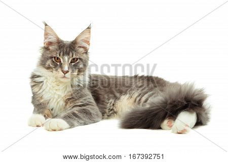 Kitten of Maine coon lying on white background