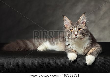 Kitten of Maine coon on black background