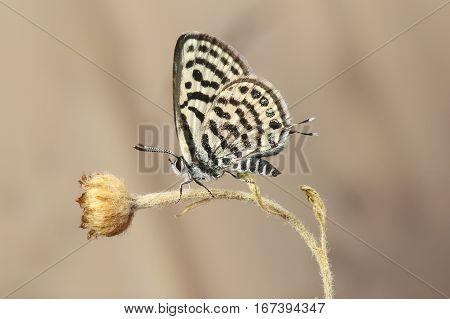 Balkan Pierrot or little tiger blue Tarucus balkanicus butterfly