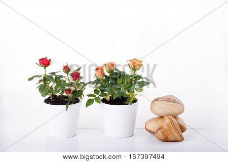 Two miniature rose plant with flowers of different colors in a flowerpot on white. Copy space.
