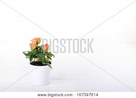 Miniature rose plant with tea-rose flowers in a flowerpot on white. Copy space.