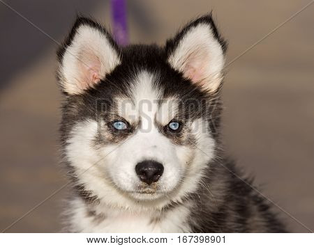 Siberian Husky Female Puppy With Blue Eyes, Headshot