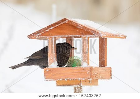 Common Blackbird Blackbird In Bird House, Bird Feeder