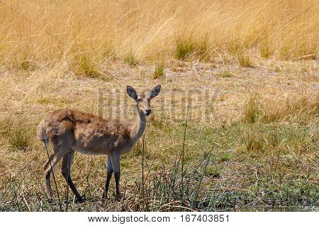 Southern Lechwe Africa Safari Wildlife And Wilderness