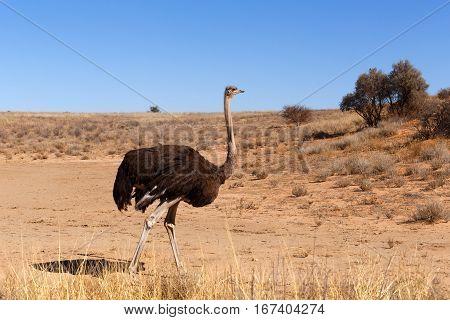 Ostrich, Kgalagadi, South Africa, Safari Wildlife