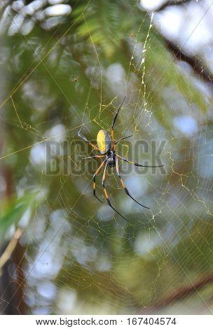 Yellow and Balck Nephila Inaurata Spider on her net in Reunion Island