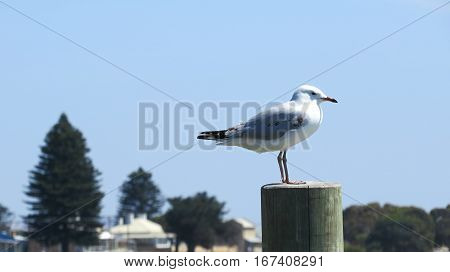 Sea gull bird on a marine post at an Australian river inlet