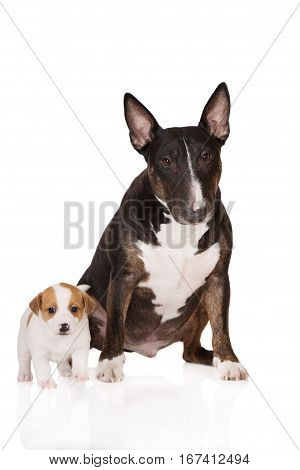 english bull terrier dog with a jack russell terrier puppy